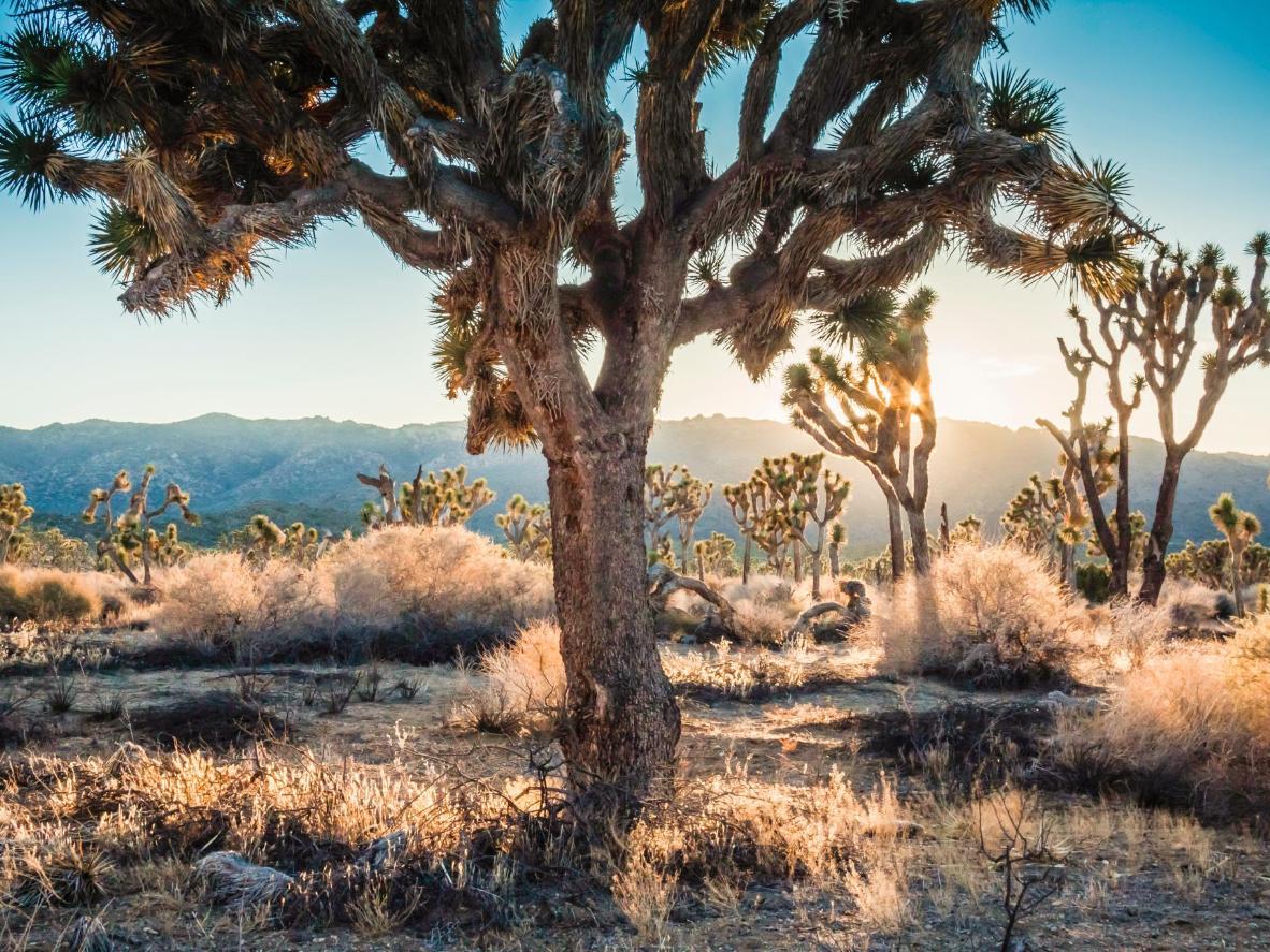 约书亚树国家公园中神秘而美丽的约书亚树