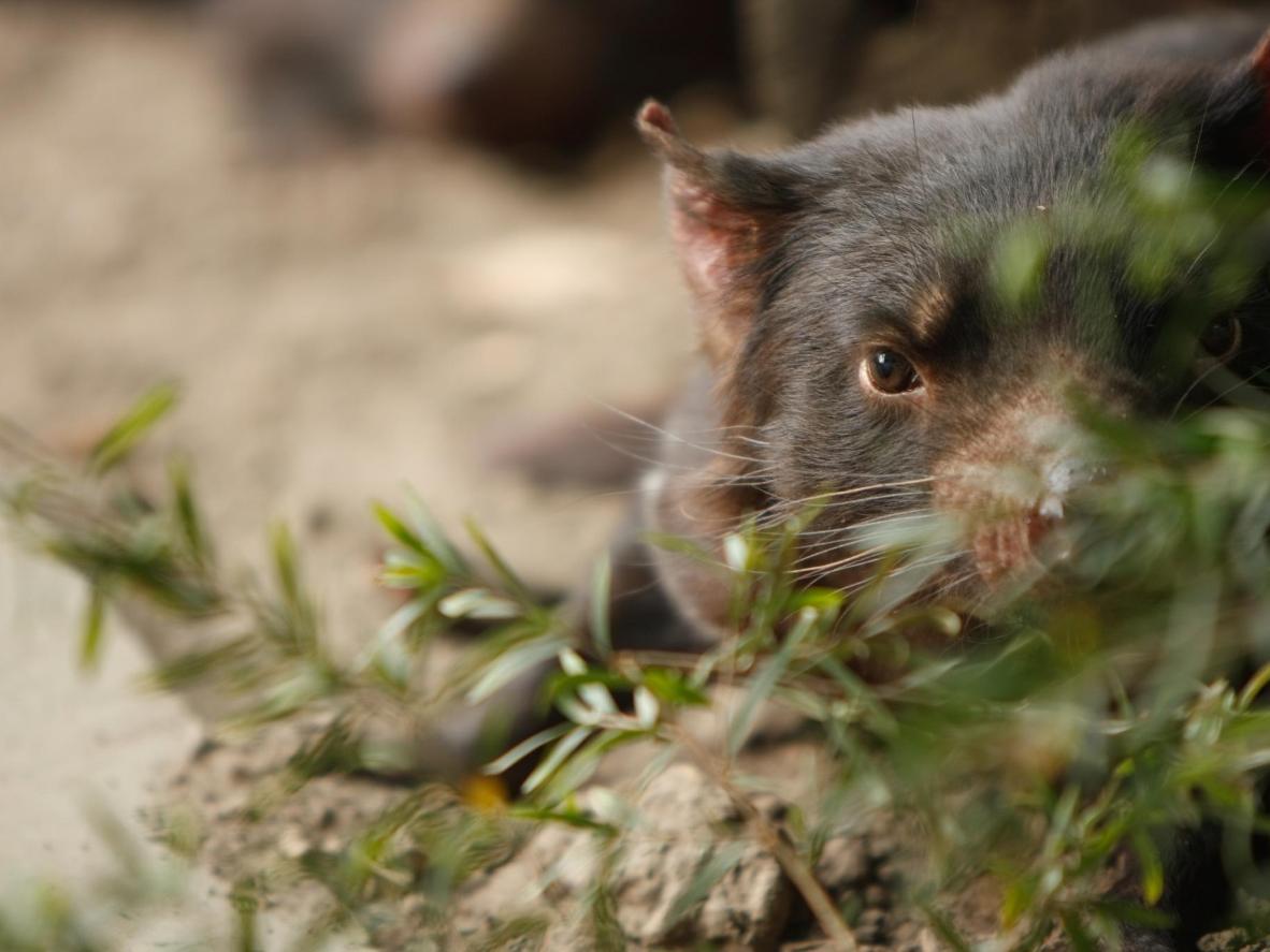 现今,只有在塔斯马尼亚州才能观赏到袋獾