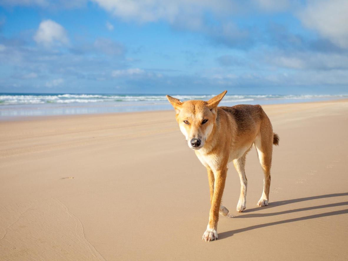 弗雷泽岛是东澳大利亚地区最后尚存的澳洲野犬的家乡